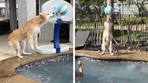 TALENTED DOG DUBBED 'REAL-LIFE AIR BUD' THANKS TO IMPRESSIVE BASKETBALL SKILLS Image