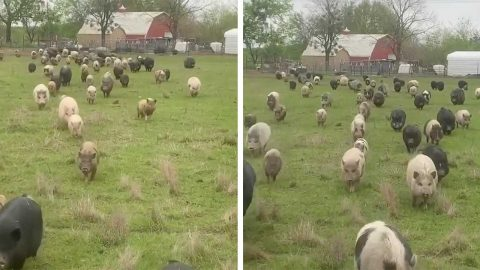 RESCUED PIGS GLEEFULLY TROT TOWARDS SUPPER Image