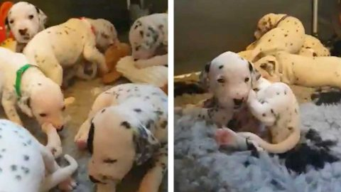 TALK ABOUT 101 DALMATIANS! SUPER-MUM NELLIE GIVES BIRTH TO BUMPER 18 PUPPIES (MEANING HER OWNERS NOW HAVE 27 DOGS IN THE HOUSE) Image