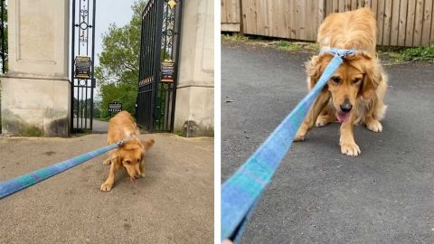 I DONT WANT TO GO! HILARIOUS MOMENT STROPPY GOLDEN RETRIEVER REFUSES TO LEAVE PARK Image