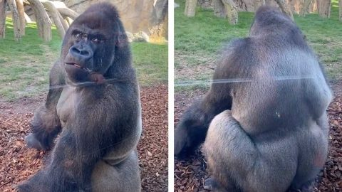 BORED GORILLA RUDELY TURNS BACK ON ZOO VISITORS IN HILARIOUS CLIP Image