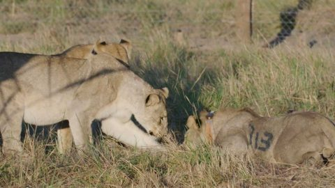 PREDATOR POPULATION HAS TRIPLED IN SIZE AFTER SUCCESSFUL RELOCATION OF LIONS Image