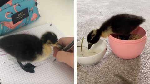 FAMILY TAKE ABANDONED DUCK EGG INTO CARE AND NOW THE DUCKLING ROAMS AROUND THE HOUSE Image