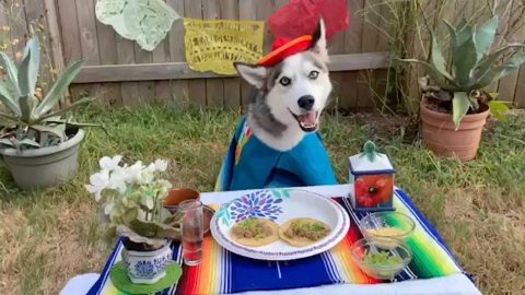 PAMPERED POOCH! THIS LUCKY HUSKY CERTAINLY KNOWS HOW TO MAKE THE MOST OF TACO TUESDAY Image