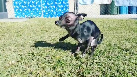 DOG WITH BIRTH DEFECT AND TWO PERMANENTLY BROKEN LEGS WHO WAS ABANDONED LIVES BEST LIFE THANKS TO LOVING NEW OWNER Image