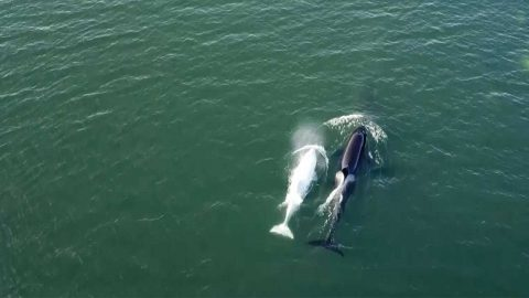 AMAZING DRONE FOOTAGE CAPTURES GROUP OF WHALES SWIMMING TOGETHER Image