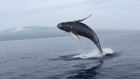 AN OVER-WHALE-MING SIGHT! HUGE WHALE BREACH CAPTURED IN STUNNING SLOW-MO Image