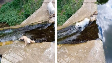 HILARIOUS DOGS FALL INTO STREAM AFTER BIGGER POOCH MANAGES TO JUMP OVER IT WITH EASE Image