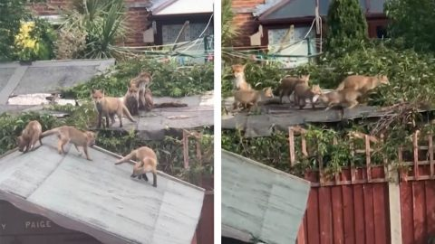 WHAT THE FOX! MUM WAKES UP TO A FAMILY OF FOXES PLAYING ON GARDEN SHEDS Image