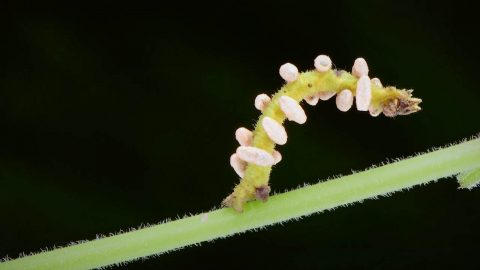 INCREDIBLE FOOTAGE OF A CATERPILLAR INFESTED WITH MIND CONTROLLING WASP LARVAE Image