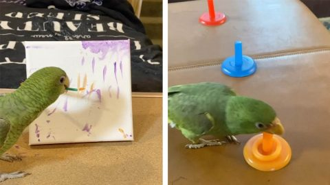MULTI-TALENTED PET PARROT CAN PAINT, PLAY BASKETBALL AND HIGH FIVE - BUT THE INTELLIGENT BIRD IS STILL TOO SCARED TO FLY Image