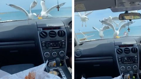 FLOCK OF HUNGRY SEAGULLS PECK CAR'S FRONT WINDOW AS THEY TRY TO GET FOOD Image