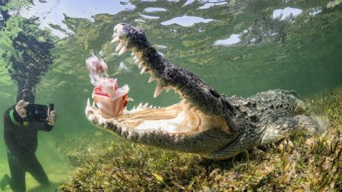 DON'T BITE THE HAND THAT FEEDS YOU – THRILL SEEKER FEEDS CROCODILES Image