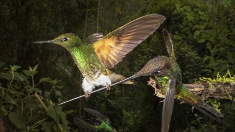 ONCE-IN-A-LIFETIME MOMENT RARE HUMMINGBIRDS BEAK COSTS HIM DINNER Image