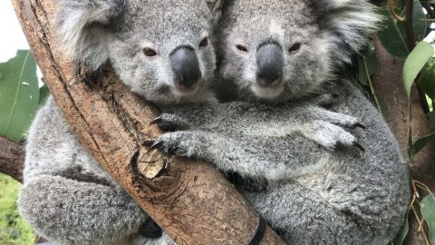 LET'S HUG IT OUT! ADORABLE SNAPS OF KOALAS ENJOYING SOME KOALA-TY CUDDLES HAVE WARMED HEARTS AROUND THE WORLD Image