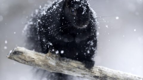 RARE SQUIRREL GETS COVERED IN SNOW IN THESE ADORABLE PICTURES Image