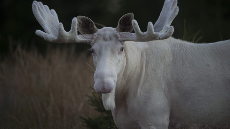 WHITE CHRISTMOOSE! PHOTOGRAPHERS CAPTURES RARE WHITE MOOSE Image