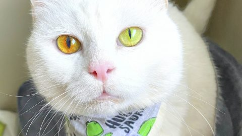 THIS ADORABLE CATS FLUORESCENT GREEN AND YELLOW EYES CHANGES COLOUR WITH THE WEATHER Image