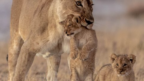 QUIT LION AROUND! PATIENT LION FETCHES MISCHEVIOUS CUBS WHO CAN'T STOP PLAYING Image