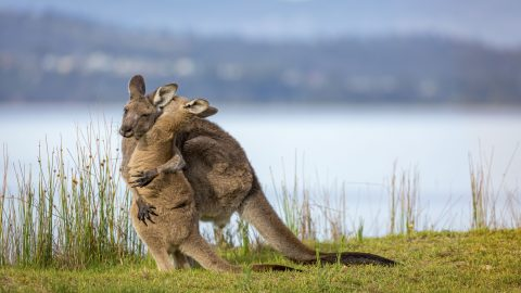 I LOVE ROO MAMA! SNAPS OF ADORABLE BABY KANGAROO DESPERATE TO CUDDLE MUM HAVE MELTED HEARTS AROUND THE WORLD Image