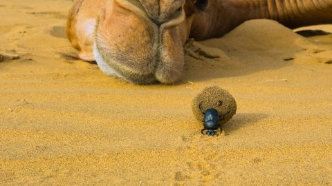 BEETLE CAUGHT IN THE ACT WITH CAMELS DUNG Image