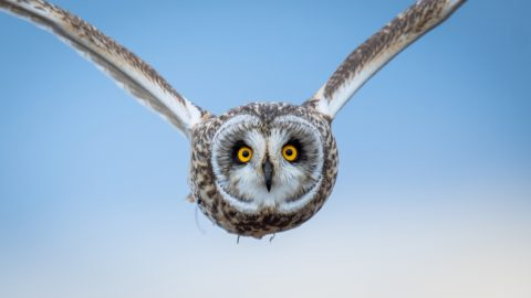 PHOTOGRAPHER CREEPS OUT OF HIDING JUST IN TIME TO CAPTURE MAJESTIC OWL SWOOPING TOWARDS HIM Image