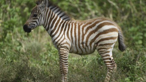 RARE LUMINESCENT GOLDEN ZEBRA SPOTTED MOMENTS AFTER BEING BORN Image