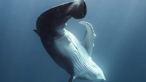 HAVING A WHALE OF A TIME! PLAYFUL WHALES SHOW OFF BREATHTAKING ACROBATIC MOVES JUST BENEATH THE WATER'S SURFACE Image
