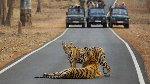 ISN'T IT SUPPOSED TO BE A ZEBRA CROSSING? MOTORISTS STUNNED AS ENORMOUS TIGER STROLLS ACROSS MAIN ROAD Image