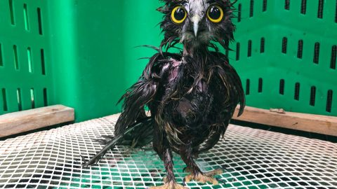 STOP TAKING PICTURES AND PASS ME THE T-OWL! RESCUE OWL LOOKS LESS THAN IMPRESSED WITH WASH AND BLOW DRY Image