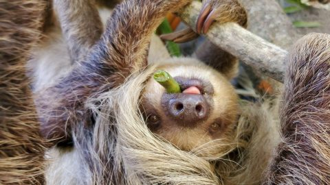SLOTH MUM AND BABY SHARE CLOSE BOND AFTER DIFFICULT BIRTH THAT PUT BOTH OF THEIR LIVES AT RISK Image