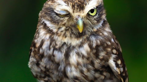 HOWL YOU DOING? OWL CAUGHT WINKING AT CAMERA Image