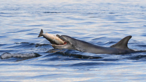 YOU AINT SEEN NO-FIN YET! ADORABLE DOLPHIN CALF JUMPS FOR JOY LEAPING 15 FOOT INTO THE AIR Image