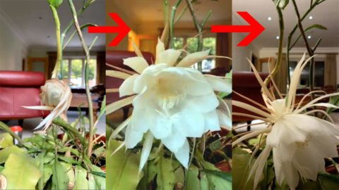 WATCH THE MOMENT ULTRA RARE PLANT WHICH ONLY BLOOMS ONCE YEAR OPENS UP Image