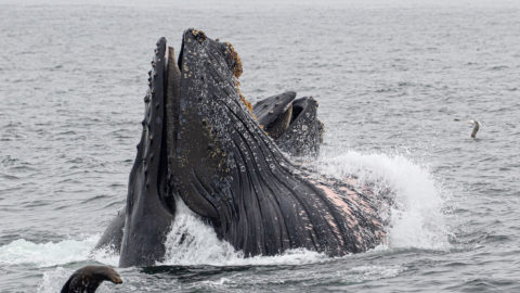 WHALE WE WERENT EXPECTING THAT! WHALE WATCHERS BLOWN AWAY AS FOUR HUGE HUMPBACKS FEAST ON THE FISH HIDING UNDERNEATH THEIR BOAT Image