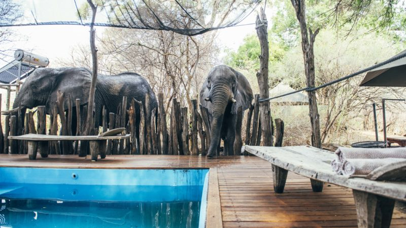 PICTURES SHOW CHEEKY ELEPHANT DRINKING FROM A SWIMMING POOL Image