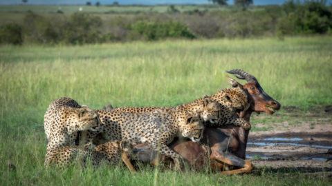 PICTURES SHOW FIVE MUSKETEER CHEETAHS HUNTING A TOPI ANTELOPE Image