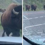 TERRIFYING MOMENT BISON STAMPEDE CRUSHES RENTAL CAR WITH FAMILY IN IT CRACKING WINDOW