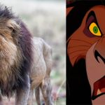 The real lion king – 'Scar' spotted in African savannah
