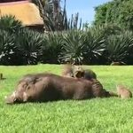 Netflix And Swill: Friendly Warthogs Love The Company Of Everyone From Humans And Dogs To Mongooses And Baboons