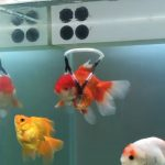 Kindhearted Man Creates 'wheelchair' Device For Disabled Goldfish