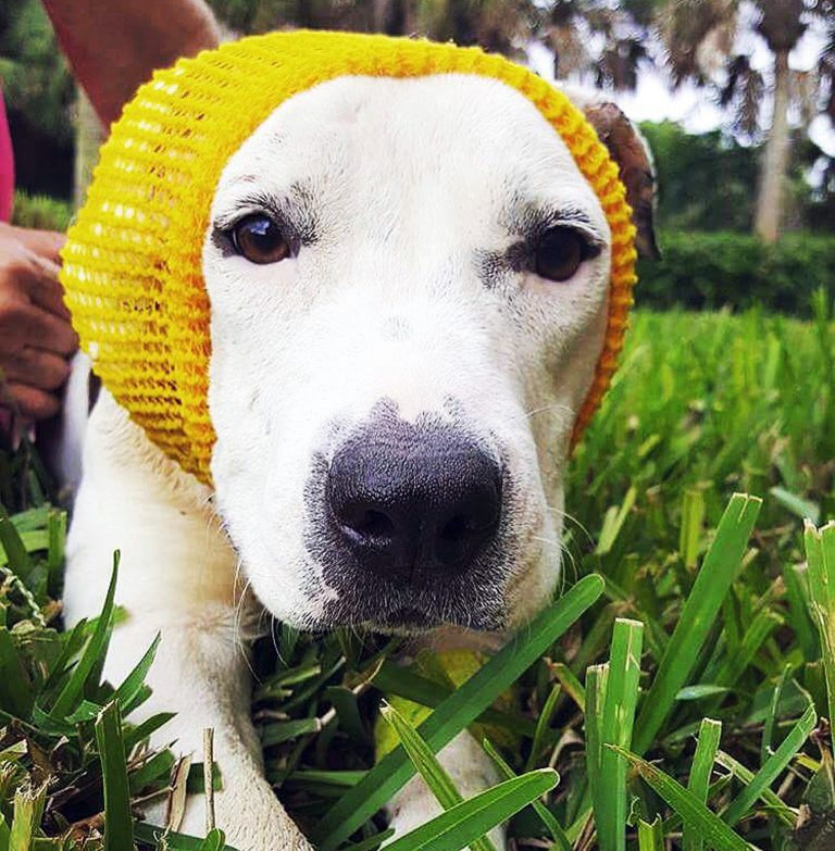 Dog wear bonnets after having its ear chewed off ...