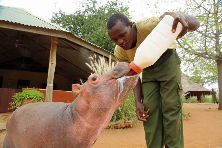 hippo rescued