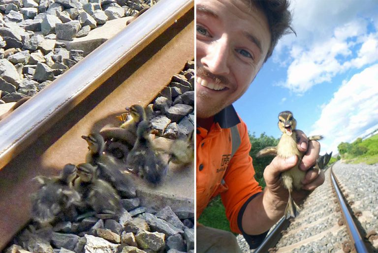 duckling rescued