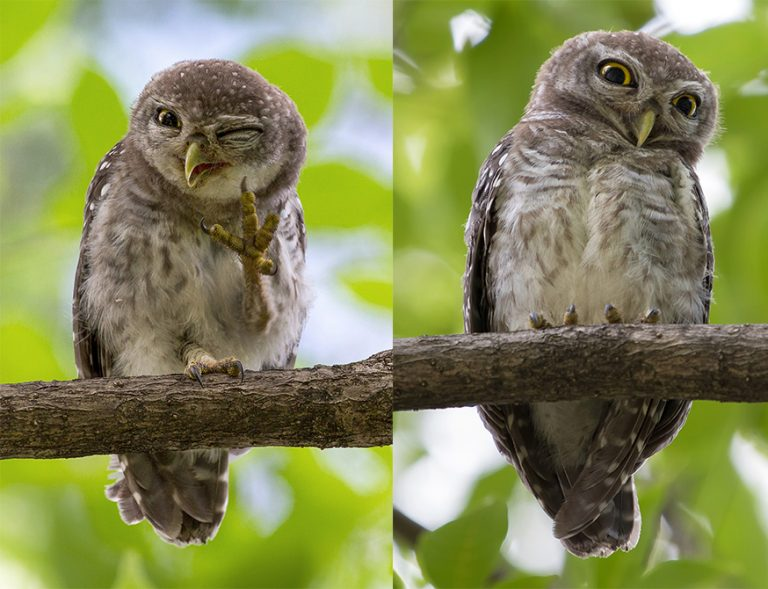 Wild owl winks in camera in series of hilarious snaps ...