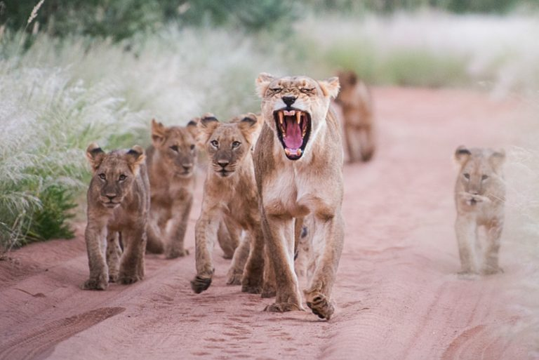 lioness adopts cubs