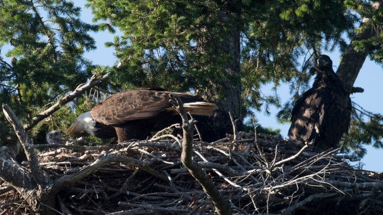 Bald eagles adopt hawk chick, usually it's mortal enemy - Storytrender