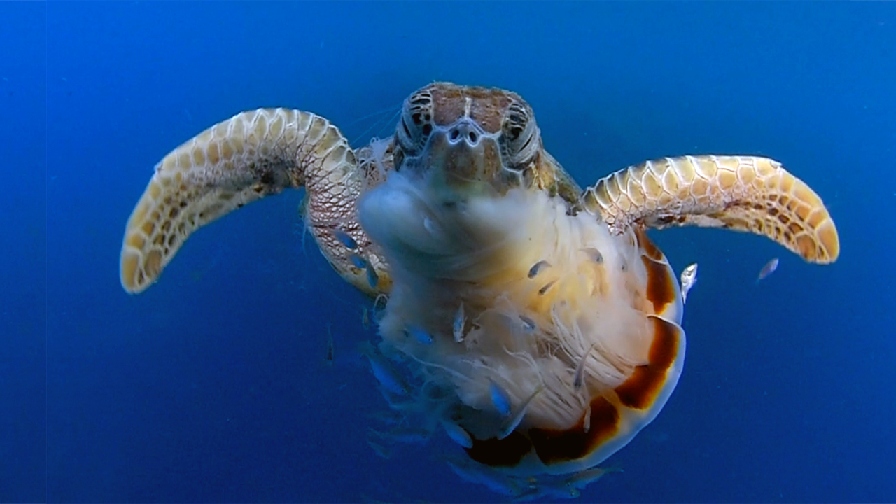 Hungry sea turtle chomps down on jellyfish dinner for Fish in jellyfish