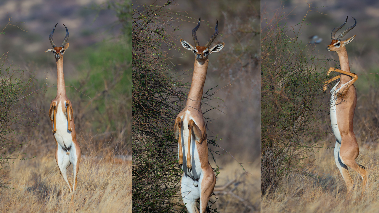 Antelope Does Best Human Impression Standing Tall With