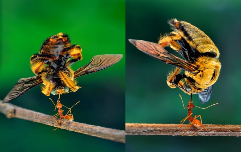 Can you bee-lieve it? Super strong ant lifts bee five ...